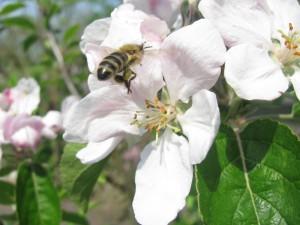 Bij op appelbloesem